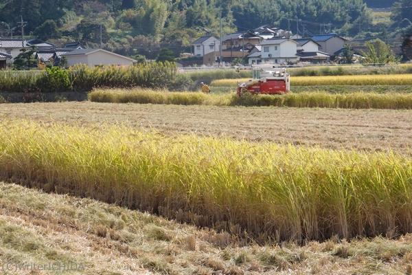 稲刈り中の圃場(矢掛町)