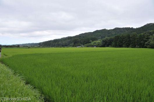 黒ボク土壌の雄町圃場の景色
